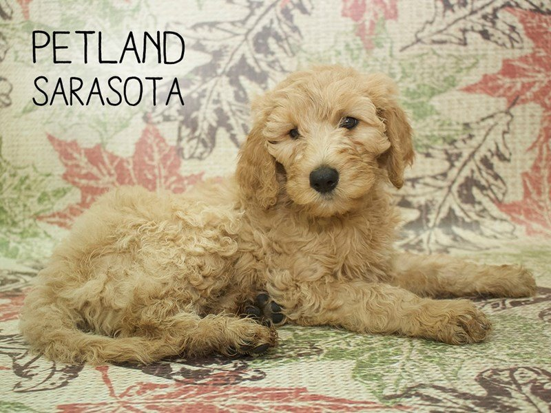 Goldendoodle 2nd Gen-Female-Cream-2195750-Petland Sarasota