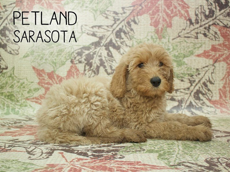 Goldendoodle 2nd Gen-Male-Golden-2195751-Petland Sarasota