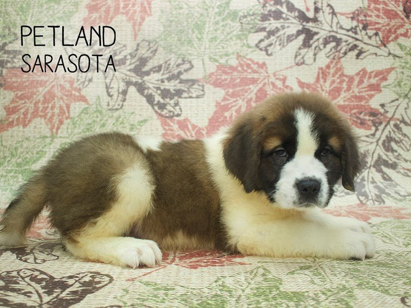 Saint Bernard-Male-Sable White-2199343-Petland Sarasota