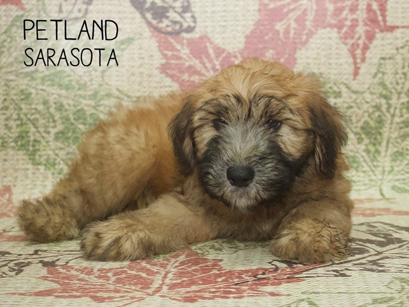 Soft Coated Wheaten Terrier-Male-Wheaten-2204844-Petland Sarasota