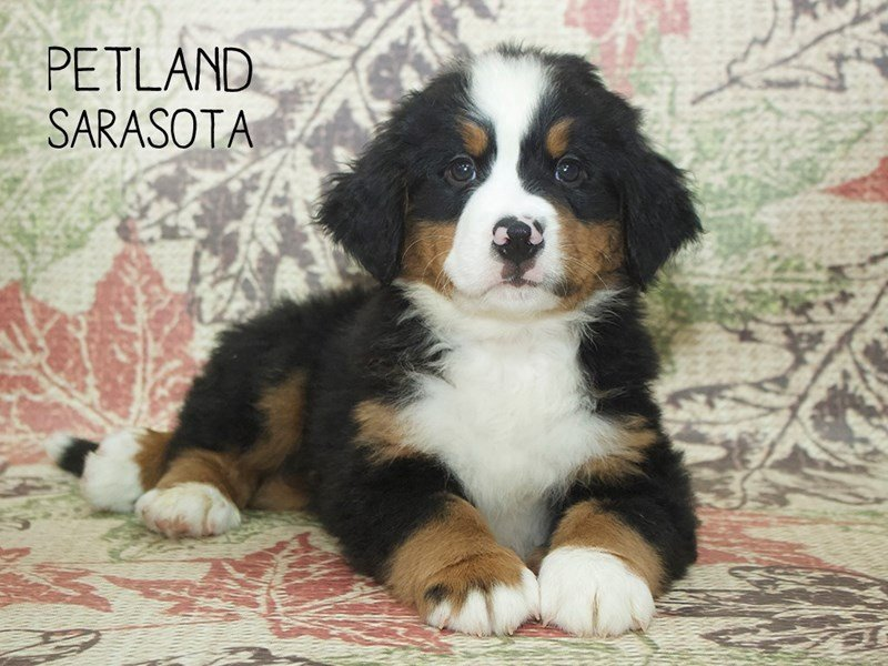 Bernese Mountain Dog-Male-Tri-2207871-Petland Sarasota