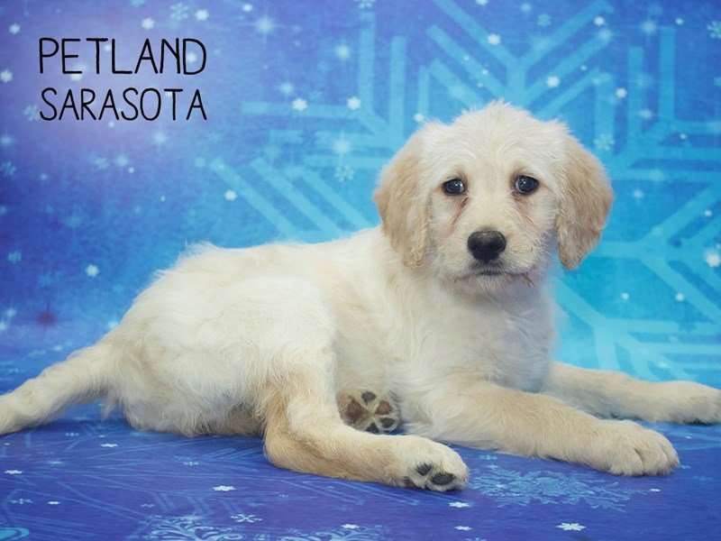 Labradoodle-Female-Yellow-2222363-Petland Sarasota