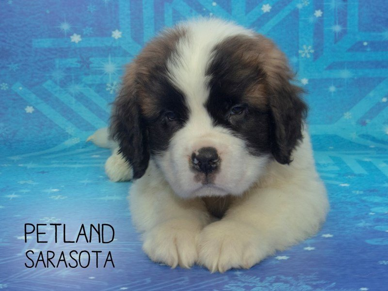 Saint Bernard-Male-BROWN WHITE-2227250-Petland Sarasota