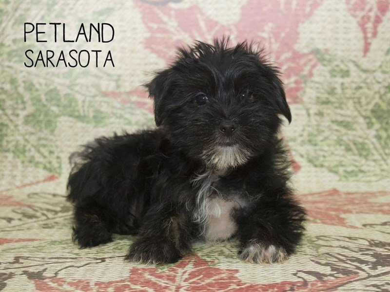 Morkie-DOG-Male-BLACK WHITE-2203276-Petland Sarasota