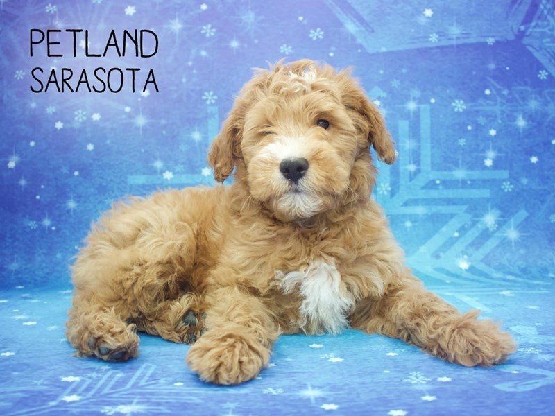 Goldendoodle 2nd Gen-Male-Red / White-2228488-Petland Sarasota