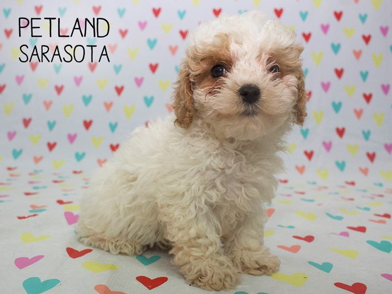 Poodle-Male-Brown white-2253632-Petland Sarasota