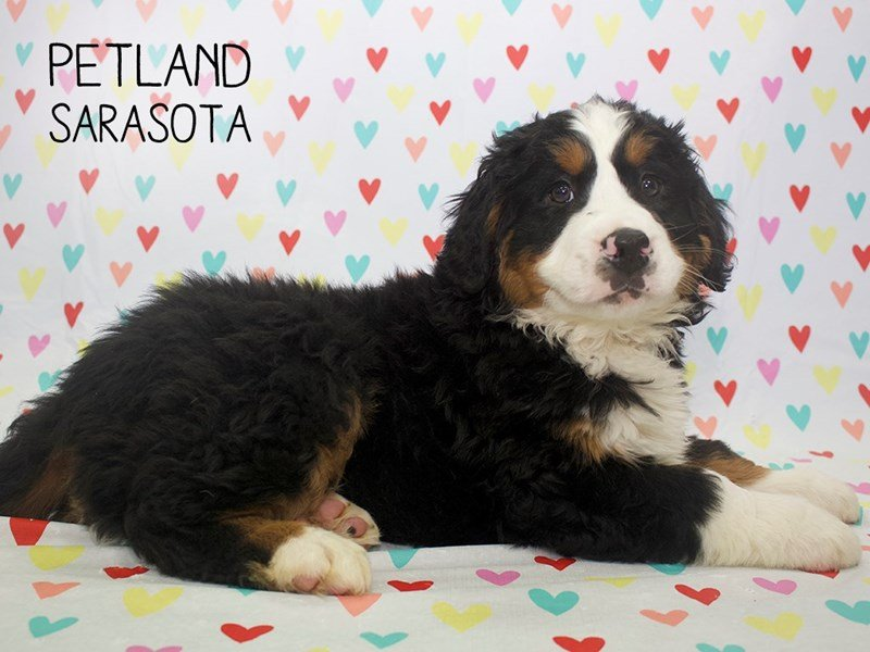 Bernese Mountain Dog-Male-Tri-2253298-Petland Sarasota