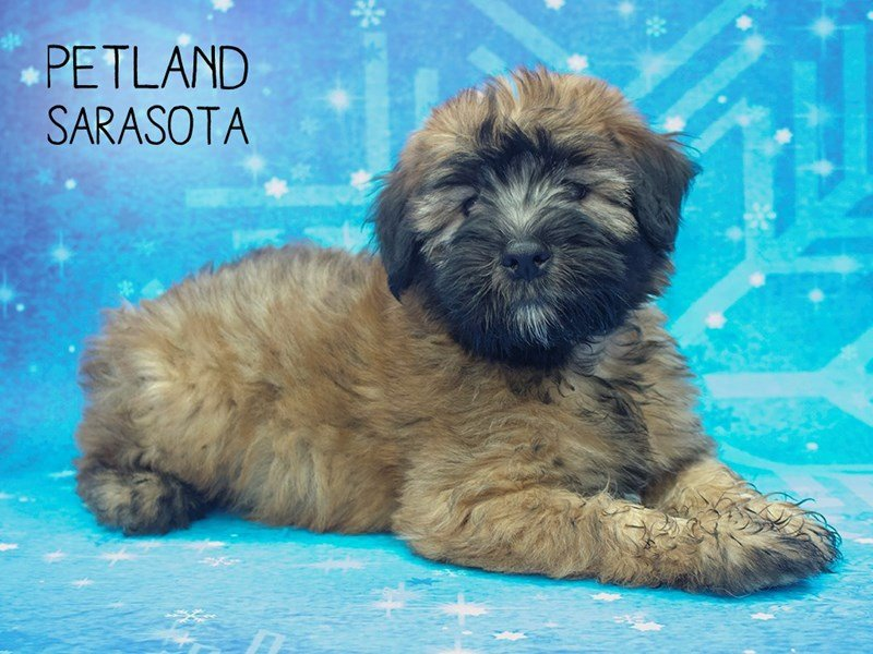 Soft Coated Wheaten Terrier-Male-Wheaten-2228443-Petland Sarasota