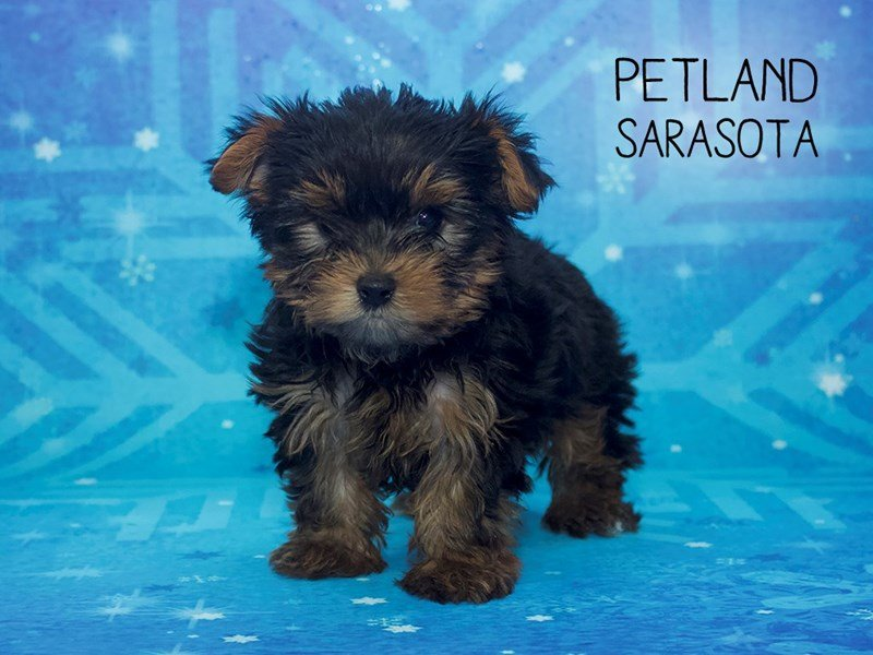 Yorkie Chon-DOG-Male-BLACK TAN-2226995-Petland Sarasota