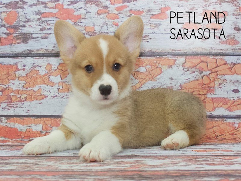 Pembroke Welsh Corgi-Male-Sable / White-2251056-Petland Sarasota