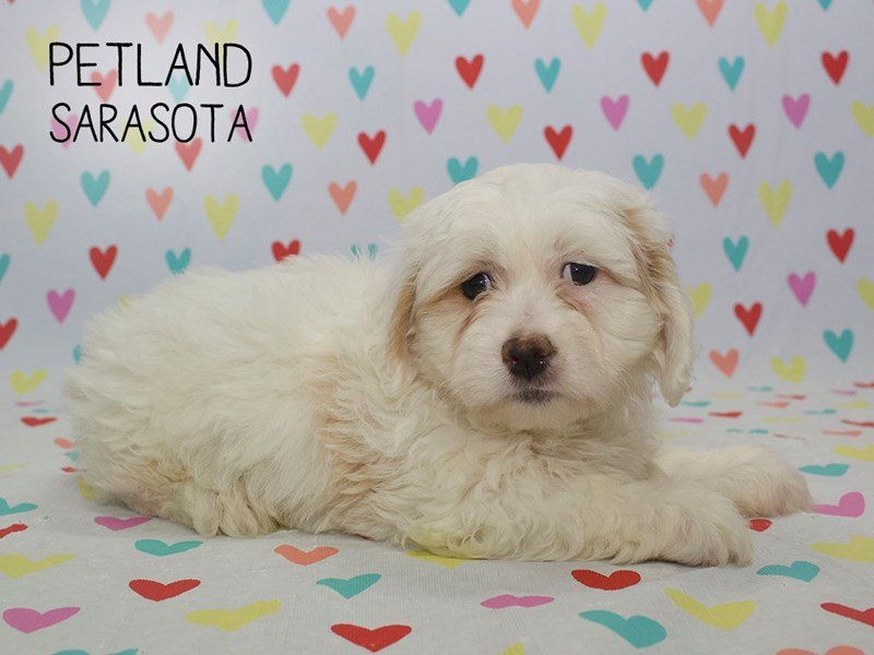Cavachon-Male-Cream White-2253165-Petland Sarasota