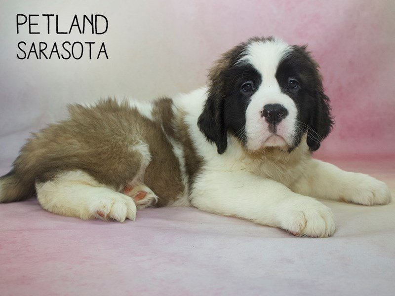 Saint Bernard-Female-Brown & White-2264610-Petland Sarasota