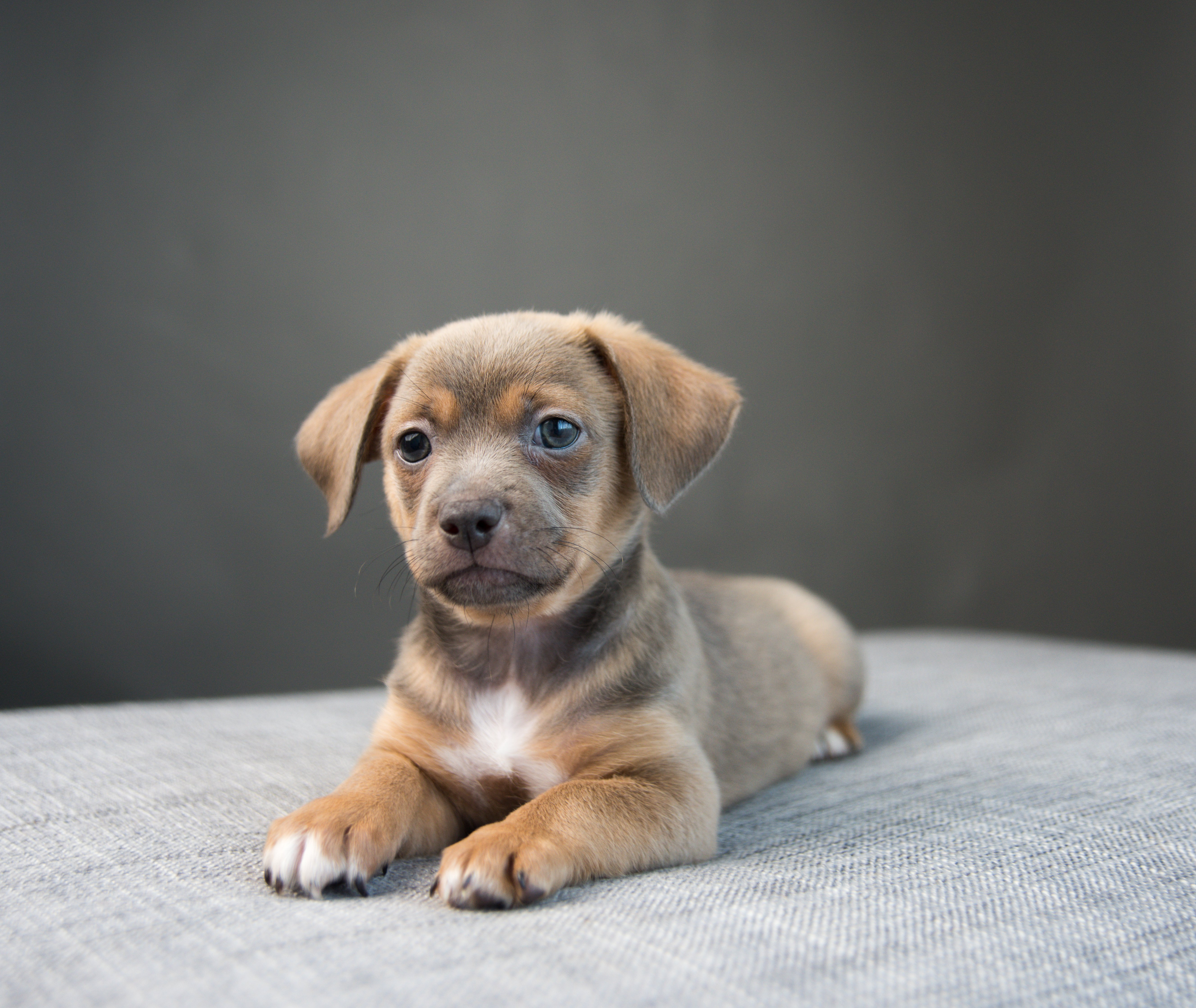 Chiweenies For Sale Are The Latest Craze In Designer Puppies