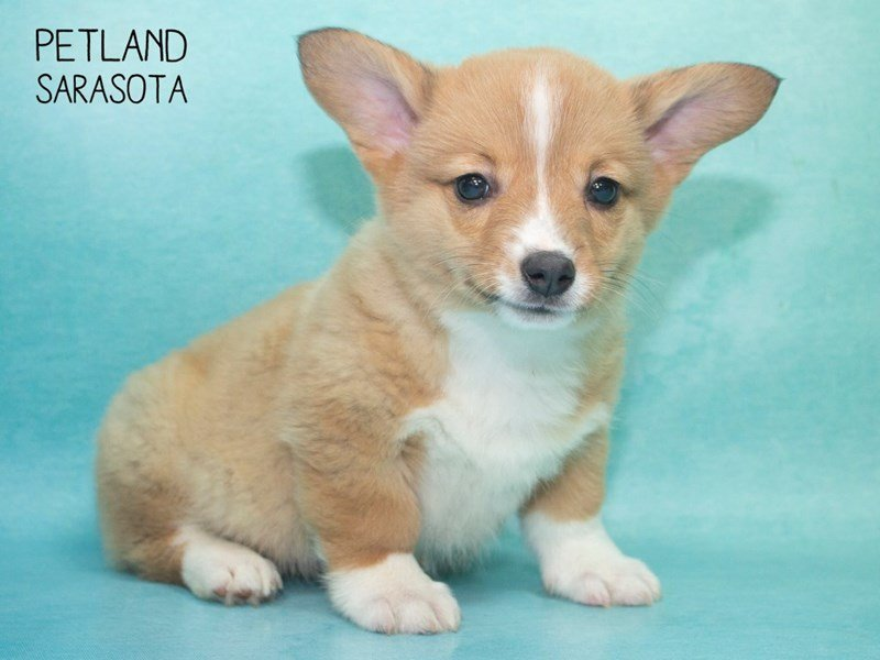 Adopted Male Pembroke Welsh Corgi 85477