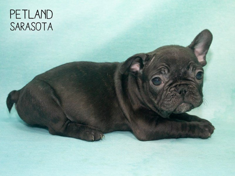 French Bulldog-Male-BLACK-2292661-Petland Sarasota