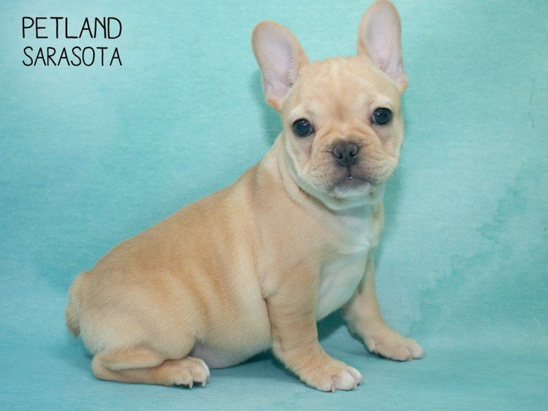 French Bulldog-Female-Tan-2292658-Petland Sarasota