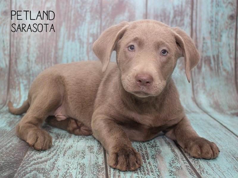 Labrador Retriever-Male-Chocolate-2297243-Petland Sarasota