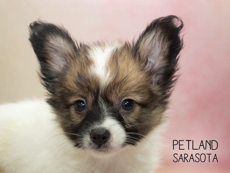 Papillon-Male-Sable & White-2270236-Petland Sarasota