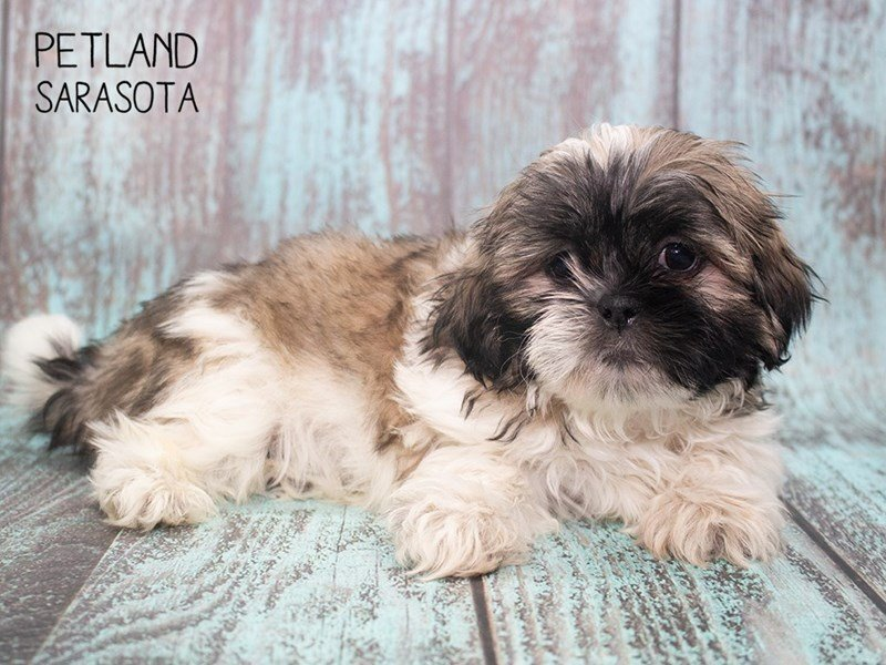 Shih Tzu-DOG-Male-BRINDLE WHITE-2297113-Petland Sarasota