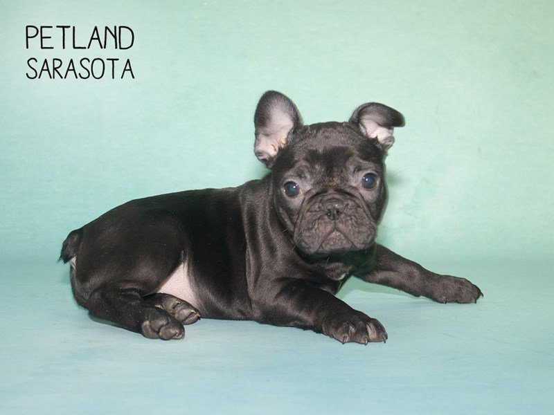 French Bulldog-Female-BLACK-2292662-Petland Sarasota
