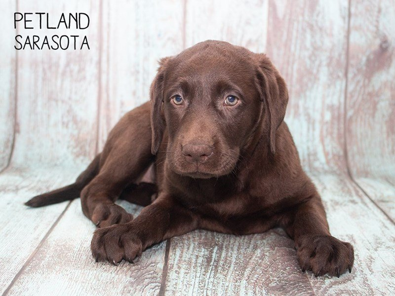 Labrador Retriever-Female-Chocolate-2302604-Petland Sarasota
