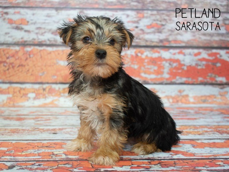 Yorkshire Terrier-DOG-Male-BLACK TAN-2308222-Petland Sarasota