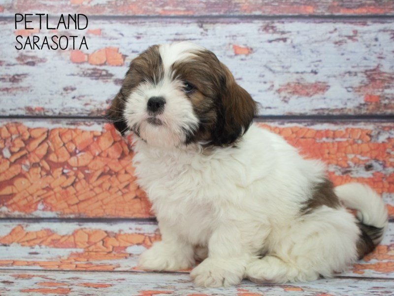 Lhasa Apso-Male-Brown White-2313558-Petland Sarasota