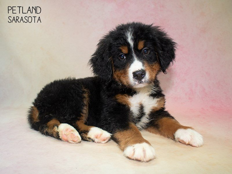 Bernese Mountain Dog-Male-Tri-2324236-Petland Sarasota