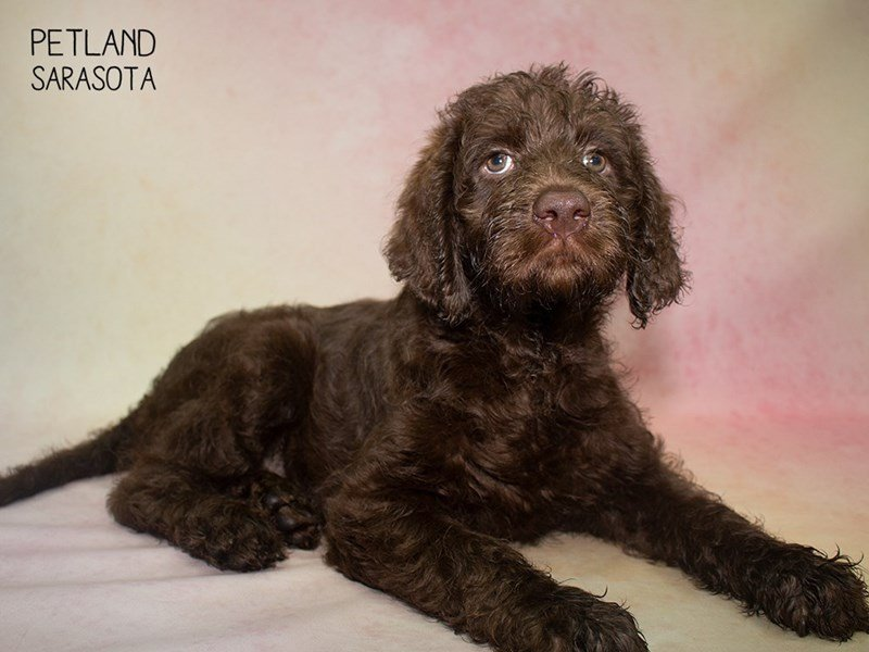 Labradoodle-Female-Chocolate-2324454-Petland Sarasota
