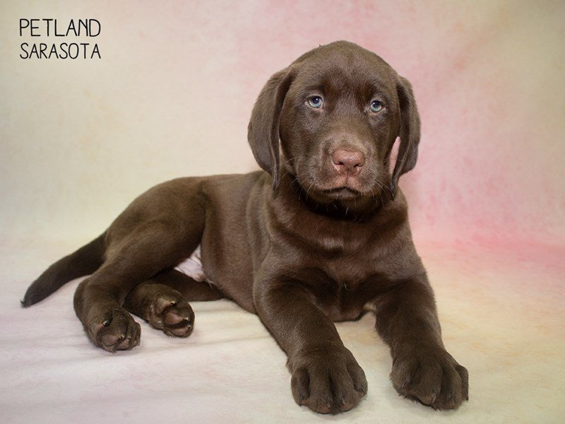 Labrador Retriever-Male-Chocolate-2324364-Petland Sarasota