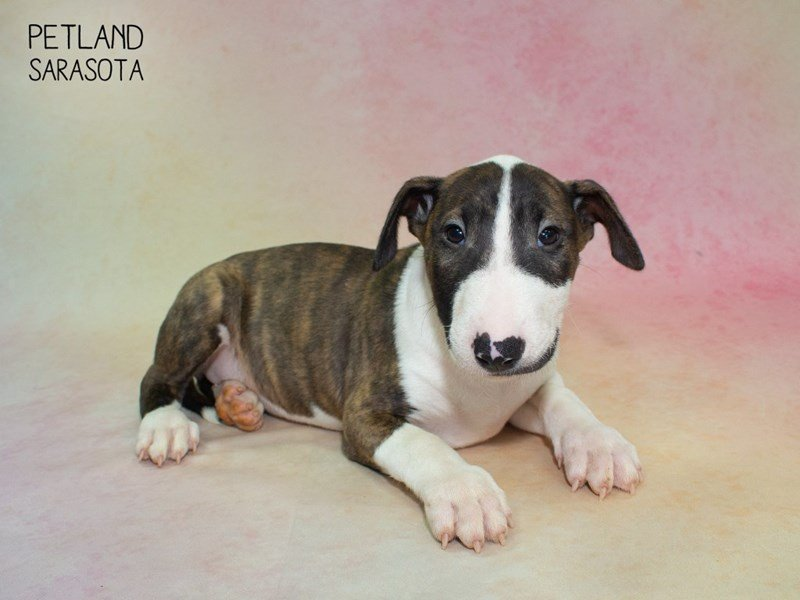 Bull Terrier-Female-brindle white-2324322-Petland Sarasota