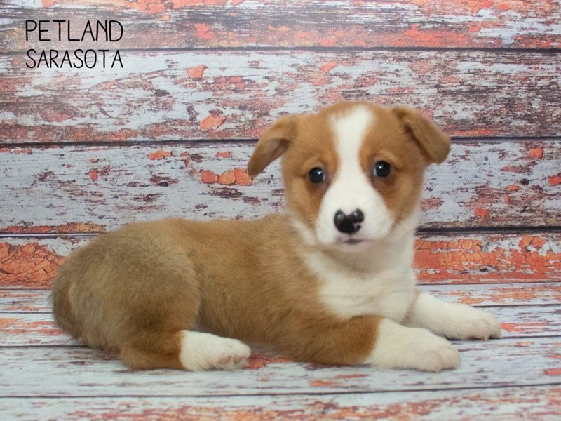 Pembroke Welsh Corgi-Male-Brown White-2334889-Petland Sarasota