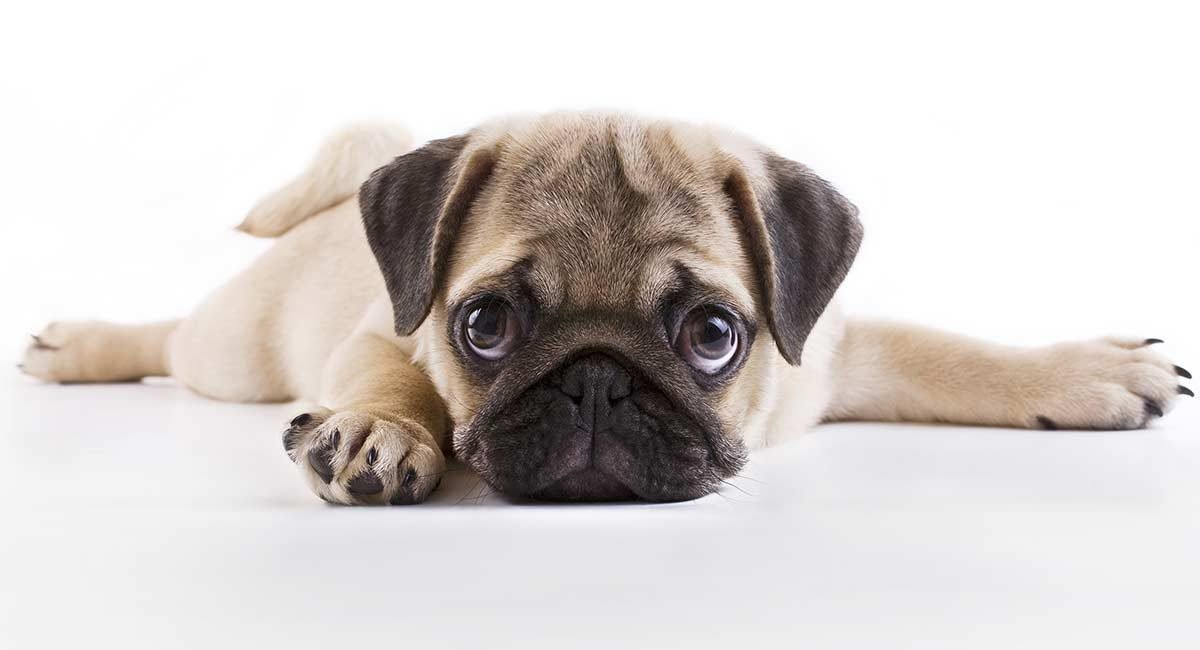 FAQs about Pug Puppies for You!