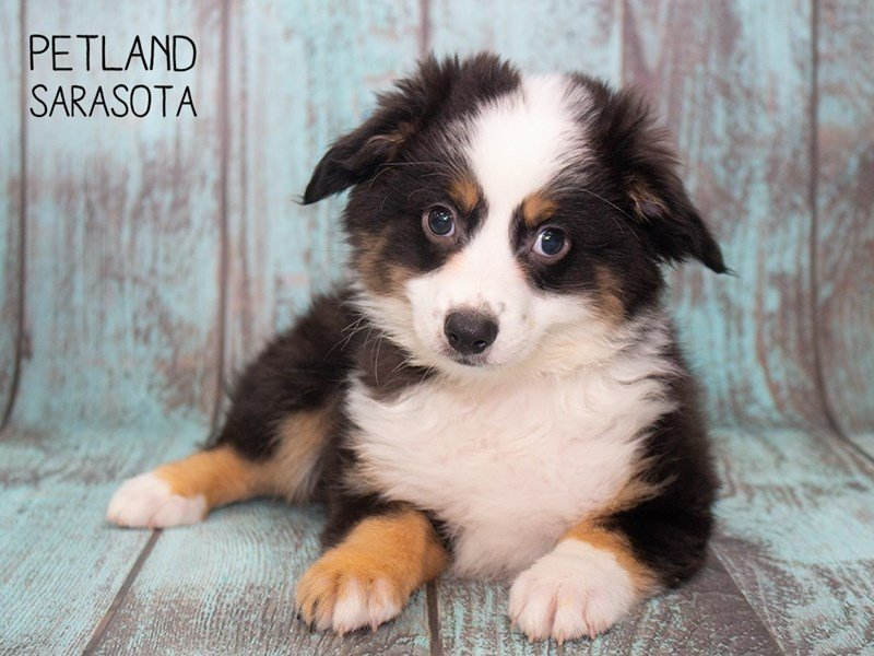 Mini Aussie-DOG-Male-BLK TRI-2296823-Petland Sarasota