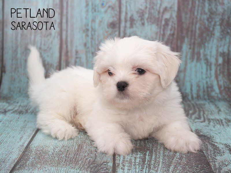 Teddy Bear-Male-CREAM WHITE-2302435-Petland Sarasota