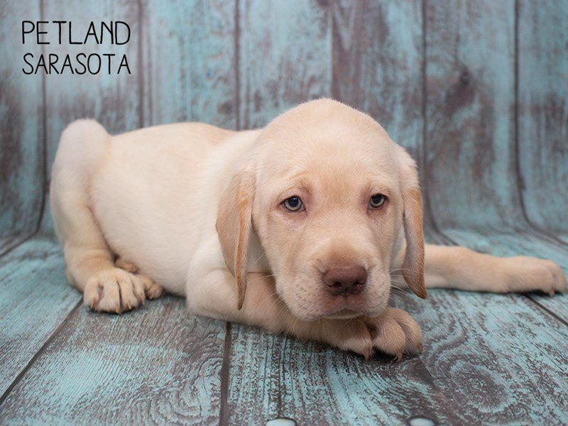 Labrador Retriever-Male-yellow-2302622-Petland Sarasota