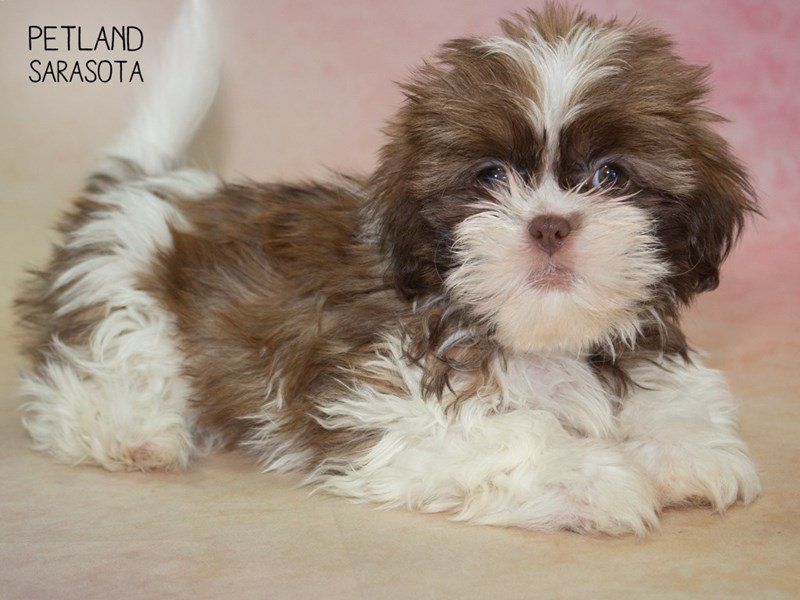 Shih Tzu-DOG-Female-BROWN WHITE-2324808-Petland Sarasota