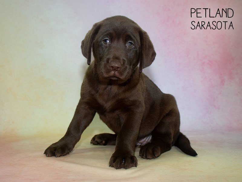 Labrador Retriever-Female-Chocolate-2329855-Petland Sarasota