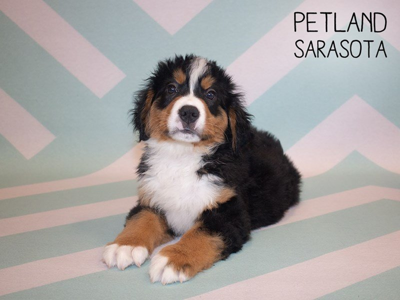 Bernese Mountain Dog-Male-Tri-2339951-Petland Sarasota