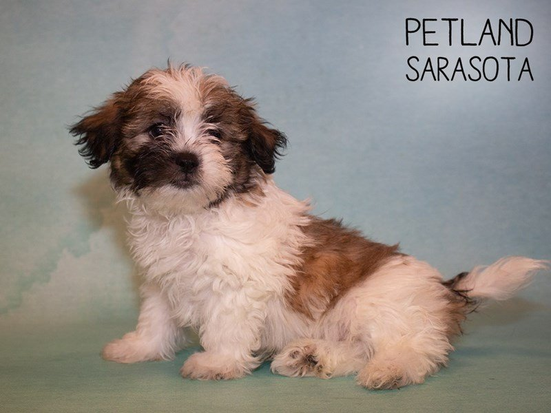 Teddy Bear-Male-BROWN WHITE-2345793-Petland Sarasota