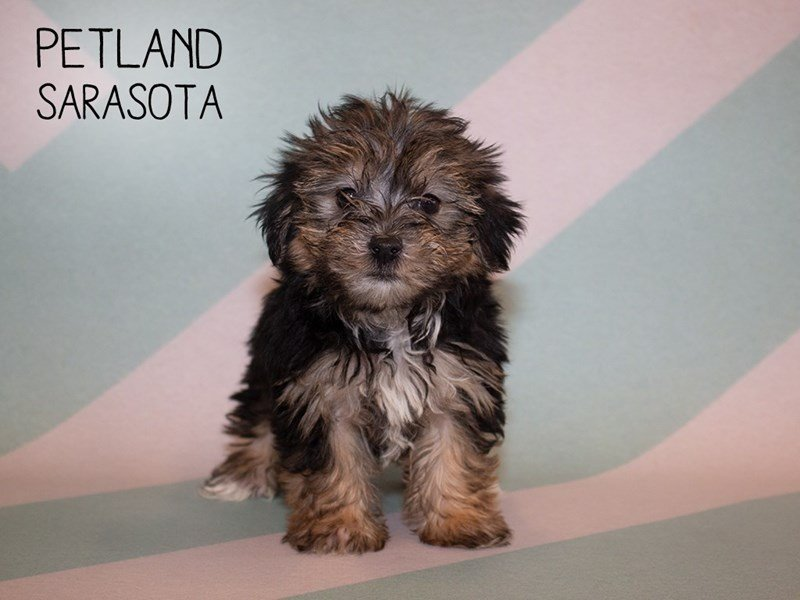 Morkie-Female-Black Tan-2356399-Petland Sarasota