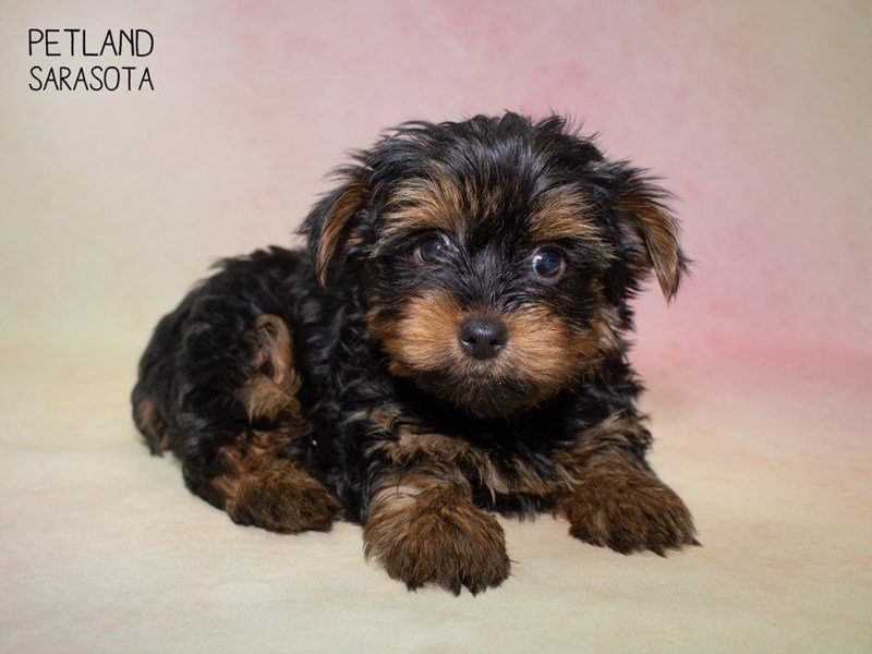 Yorkshire Terrier-Male-BLACK TAN-2324388-Petland Sarasota