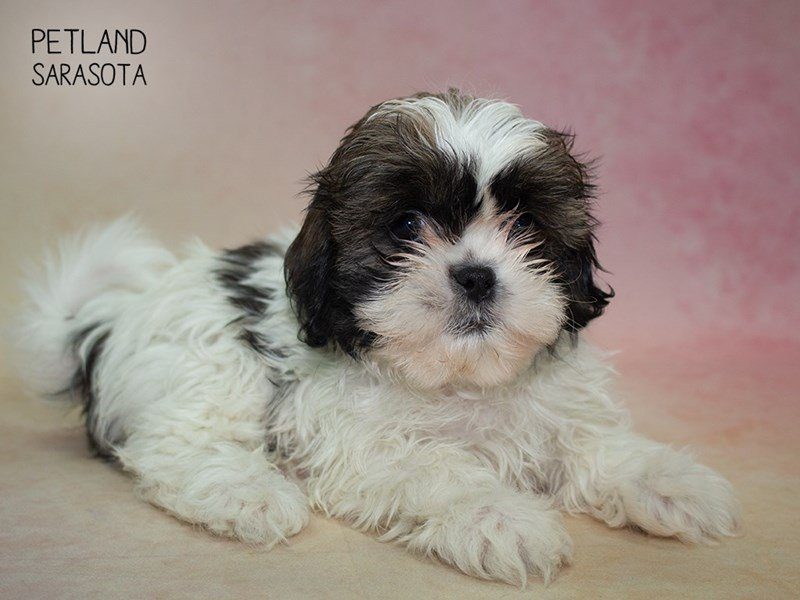 Shih Tzu-DOG-Male-brown White-2324805-Petland Sarasota