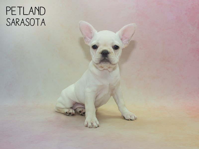 French Bulldog-Female-cream white-2319501-Petland Sarasota