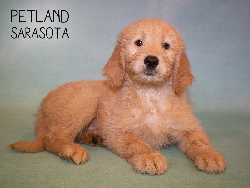 Goldendoodle-Female-Golden-2345566-Petland Sarasota