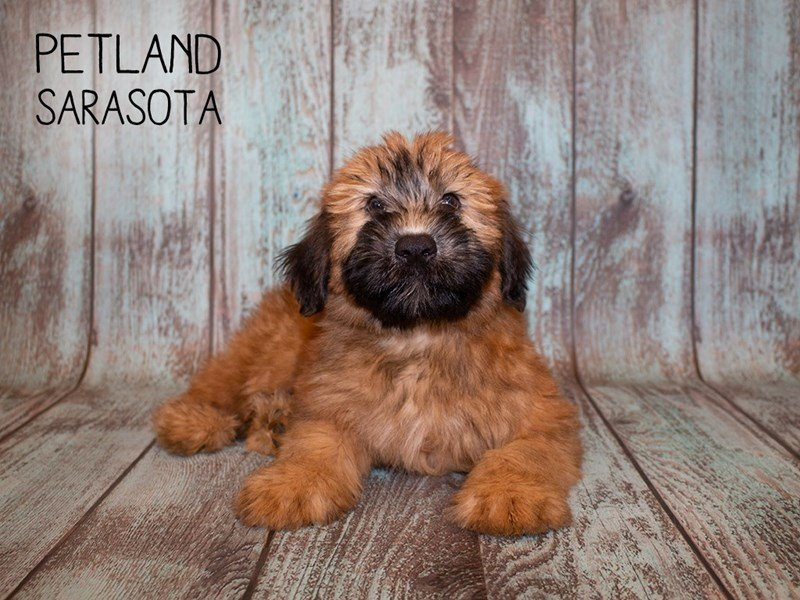Soft Coated Wheaten Terrier-Male-WHTN-2362033-Petland Sarasota