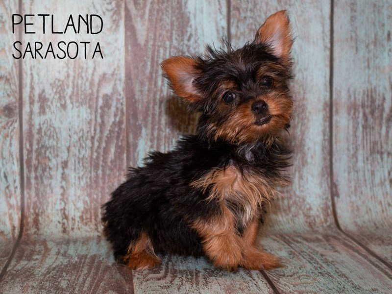 Yorkshire Terrier-Female-BLK & TN-2362031-Petland Sarasota