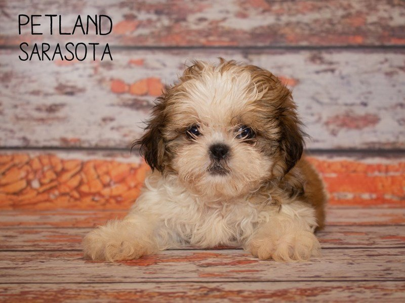 Shih Tzu-Female-brown wh-2373107-Petland Sarasota