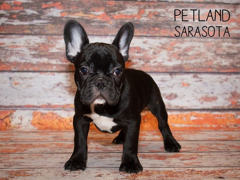 French Bulldog-Male--2375911-Petland Sarasota