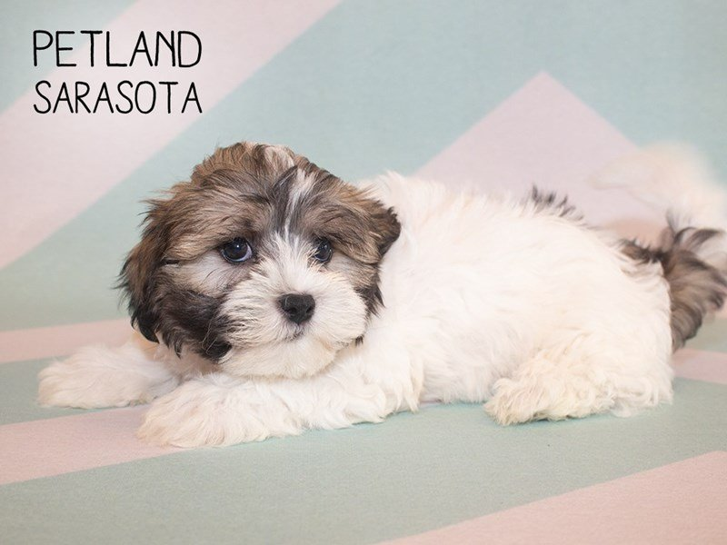 Teddy Bear-Male-White and Brown-2343784-Petland Sarasota
